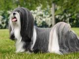 Собаки, щенята Лхаса апсо, ціна 4500 Грн., Фото