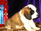 Собаки, щенки Московская сторожевая, цена 3000 Грн., Фото