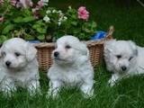 Собаки, щенята Мальтійська болонка, ціна 2800 Грн., Фото