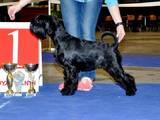 Собаки, щенята Міттельшнауцер, ціна 6000 Грн., Фото