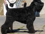 Собаки, щенята Чорний тер'єр, ціна 4800 Грн., Фото