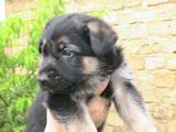 Собаки, щенки Восточно-Европейская овчарка, цена 1500 Грн., Фото