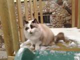 Кішки, кошенята Регдолл, ціна 1500 Грн., Фото