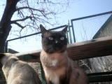 Кошки, котята Тайская, цена 200 Грн., Фото
