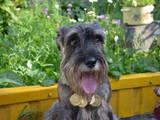 Собаки, щенята Міттельшнауцер, ціна 2300 Грн., Фото