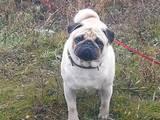 Собаки, щенки Мопс, цена 800 Грн., Фото