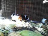 Грызуны Морские свинки, цена 30 Грн., Фото