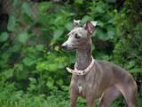 Собаки, щенята Левретка, ціна 6000 Грн., Фото