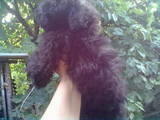Собаки, щенки Цветная болонка, цена 1500 Грн., Фото