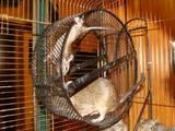 Гризуни Дегу, ціна 200 Грн., Фото