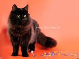 Кішки, кошенята Норвезька лісова, ціна 3000 Грн., Фото