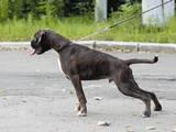 Собаки, щенята Боксер, ціна 6000 Грн., Фото