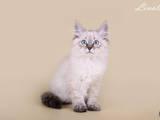 Кішки, кошенята Невськая маскарадна, ціна 3500 Грн., Фото