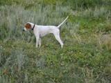 Собаки, щенята Англійський пойнтер, ціна 3500 Грн., Фото