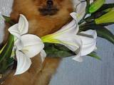 Собаки, щенки Карликовый шпиц, цена 10000 Грн., Фото