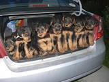 Собаки, щенки Эрдельтерьер, цена 3600 Грн., Фото