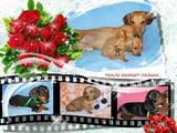 Собаки, щенки Спаривание, цена 500 Грн., Фото