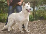 Собаки, щенки Белая Швейцарская овчарка, цена 2400 Грн., Фото