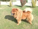 Собаки, щенята Чау-чау, ціна 2000 Грн., Фото