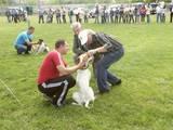 Собаки, щенята Англійський пойнтер, ціна 6000 Грн., Фото