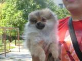 Собаки, щенята Карликовий шпіц, ціна 6000 Грн., Фото