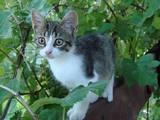 Кішки, кошенята Білоніжка, ціна 2 Грн., Фото
