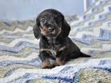 Собаки, щенята Жорсткошерста такса, ціна 920 Грн., Фото