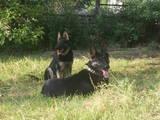 Собаки, щенки Восточно-Европейская овчарка, цена 2000 Грн., Фото