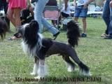 Собаки, щенята Китайська чубата собака, ціна 4500 Грн., Фото
