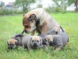 Собаки, щенята Мальоркскій бульдог (Ка Де Бо), ціна 5500 Грн., Фото