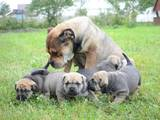 Собаки, щенки Мальоркский бульдог (Ка Де Бо), цена 5500 Грн., Фото