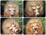 Собаки, щенята Карликовий пудель, ціна 2000 Грн., Фото