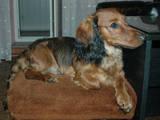 Собаки, щенята Довгошерста такса, ціна 1500 Грн., Фото
