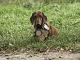 Собаки, щенята Гладкошерста такса, ціна 2000 Грн., Фото