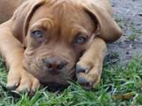 Собаки, щенята Бордоський дог, ціна 3000 Грн., Фото