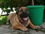 Собаки, щенки Мальоркский бульдог (Ка Де Бо), цена 8000 Грн., Фото