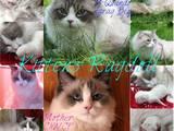 Кошки, котята Рэгдолл, цена 10000 Грн., Фото