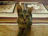Кішки, кошенята Оцикат, ціна 2000 Грн., Фото
