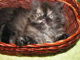 Кішки, кошенята Персидська, ціна 450 Грн., Фото