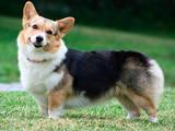 Собаки, щенята Вельш коргі пемброк, ціна 6000 Грн., Фото