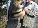 Собаки, щенята Східно-Європейська вівчарка, ціна 2000 Грн., Фото