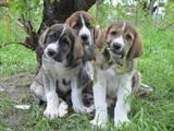 Собаки, щенки Испанский мастиф, цена 8000 Грн., Фото