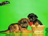 Собаки, щенки Брюссельский гриффон, цена 8000 Грн., Фото