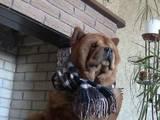 Собаки, щенята Чау-чау, Фото