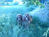 Собаки, щенки Английский коккер, цена 650 Грн., Фото