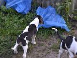 Собаки, щенята Різне, ціна 1500 Грн., Фото