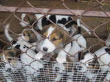 Собаки, щенята Російський хорт, ціна 1500 Грн., Фото