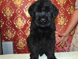 Собаки, щенки Черный терьер, цена 1500 Грн., Фото