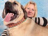 Собаки, щенки Турецкий кангал, цена 15000 Грн., Фото