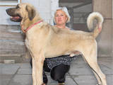 Собаки, щенята Турецька Кангал, ціна 15000 Грн., Фото